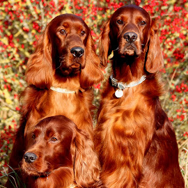Somerset sun by Ken Jarvis - Animals - Dogs Portraits ( autumn, irish setter, dog portrait, cute dogs )