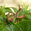 Ninfa de mantis