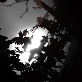 Maple Leaves Against The Supermoon by Waynette  Townsend - Nature Up Close Leaves & Grasses ( moon, sky, silouette, super moon, dramatic, night, full moon, leaf, leaves, maple,  )