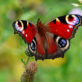 Peacock butterfly by Costa Philippou - Animals Insects & Spiders ( butterfly, uk, nature, wildlife, peacock )