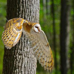 That Way by Roy Walter - Animals Birds ( bird, nature, barn owl, owl, animal )