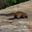 Jungle palm squirrel, western ghats squirrel