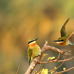Where are you going???Blue tailed bee eater by Nithya Purushothaman - Animals Birds (  )