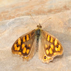 Speckled Wood, Mariposa de los muros