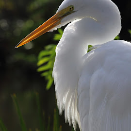 Great Egret Profile by Sandra Blair - Animals Birds ( bird, wading bird, wetlands, florida, wader, egret, great egret,  )