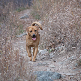 Copper Running on the Trail by Matt Dittsworth - Animals - Dogs Running ( mountain, k9, pet, trail, run, dog, tail )