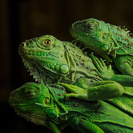 by João Vaz Rico - Animals Reptiles