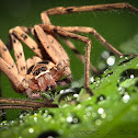 Huntsman spider (male)