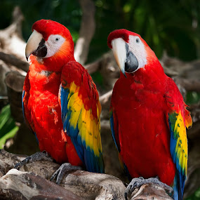 Meet the Rainbow by Wojciech Toman - Animals Birds ( ara macao, jungle, mexico, south america, yucatan, xcaret, birds, animal, macaw )