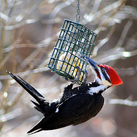 Pileated Woodpecker by Thaddaeus Smith - Animals Birds ( pileated, woodpecker )