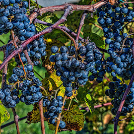 Vineyard by Izzy Kapetanovic - Nature Up Close Gardens & Produce ( vineyard, nature, vines, blue, grapes )