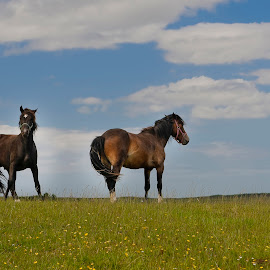 Two by John P Carr - Animals Horses ( two, skyline, horses, pair, horizon,  )