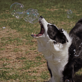 Open Wide by Melanie Melograne - Animals - Dogs Playing ( border collie, pet, bubbles, catching bubbles, dog, playing with bubbles, outside, animal )