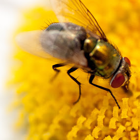 busy fly by Matthew Lindsey - Animals Insects & Spiders ( fly, green fly, yellow flower, flower )