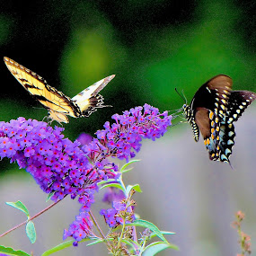 Double Butterflies by Cheryl Thomas - Animals Insects & Spiders ( butterfly, wings, flowers, garden, purple flower,  )
