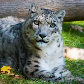 Snow Leopard by Julie Berglund - Animals Lions, Tigers & Big Cats ( wild cat, big cat, snow leopard, leopard, white cat )