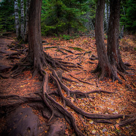 Cedar Roots near the Cascade River by Gary Hanson - Nature Up Close Trees & Bushes ( exposed, pipeline, cascade, roots, cedar )