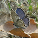 Plains Cupid