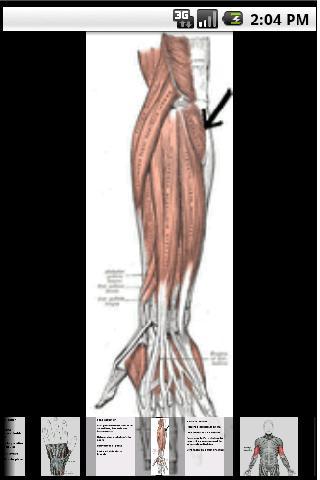 Muscle du membre supérieur
