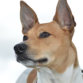 Astro The Rat Terrier by Dia Helen - Animals - Dogs Portraits