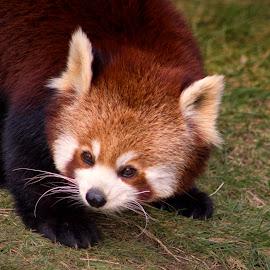 AM 5  by Kelly Murdoch - Animals Other Mammals ( england, uk, panda, fur, red panda, ztam )