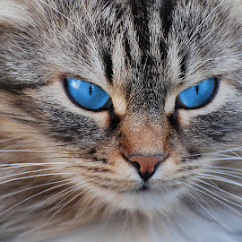 Blue eyes by Maja  Marjanovic - Animals - Cats Portraits ( cats, animals, blue eyes, portraits, , eyes, beauty )