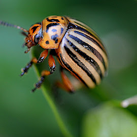weard looking beetle by Lin Willaert - Animals Insects & Spiders