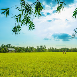 The rice field in countryside  by Sơn Hải - Landscapes Prairies, Meadows & Fields ( field, rice, tree, vietnam )