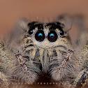 :+: :+: Hyllus (spider) :+: :+: