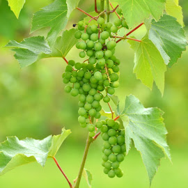 Gapes on vine by Kris LeBlanc - Nature Up Close Leaves & Grasses ( wine, vineyard, simplicity, grapes, leaves,  )