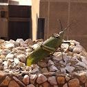 Green Milkweed Locust or African Bush Grasshopper