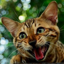 by Neni Wijaya - Animals - Cats Portraits ( cat, bengal, garden, animal, #GARYFONGPETS, #SHOWUSYOURPETS )