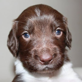 Puppy dog eyes by Suzi Lloyd - Animals - Dogs Puppies ( springer, spaniel, puppy )