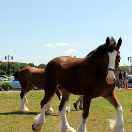 Clydesdale Horse... by Susanne Carlton - Animals Horses