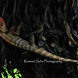 Gekko by Romeet Saha - Animals Reptiles