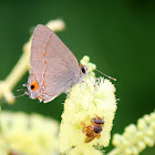 Rudy Hairstreak