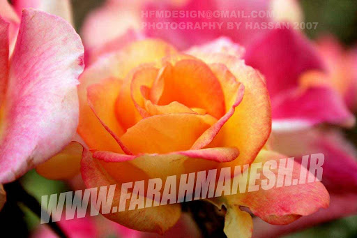 گل رز داخل باغچه دفتر کارم تابستان 86