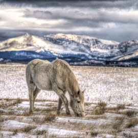 Winter Solace by Levi Oelrich - Animals Horses ( mountains, winter, graze, rocky mountains, horse, colorado, drama,  )
