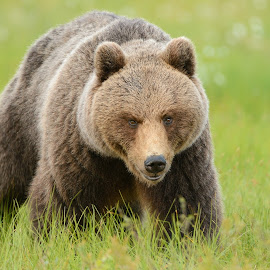 Nice Guy by Harry Eggens - Animals Other Mammals ( bear, wild, european brown bear, animals, europe, male, wildlife, image, finland, ursus arctos, brown bear, photography, mammal, common brown bear, carnivore, russia, european, nature, hide, horizontal, border, eurasia, swamp, animal )