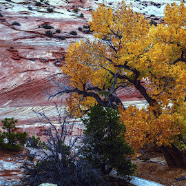 Zion Cottonwood by Mike Moss - Landscapes Mountains & Hills