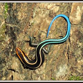 Plestiodon quadrilineatus by Kwong Chung-man - Animals Reptiles