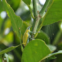 Green Weevil