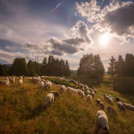 Sheep in summer time by Stanislav Horacek - Landscapes Prairies, Meadows & Fields