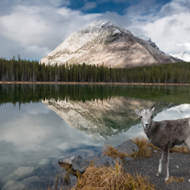 Moment of reflection at Buller Pond by Alan Crosthwaite - Landscapes Mountains & Hills ( canada, buller pond, lakes, reflections, lake, scenic, banff, canadian rockies, banff national park, sheep, rockies, landscapes, pond, reflective )