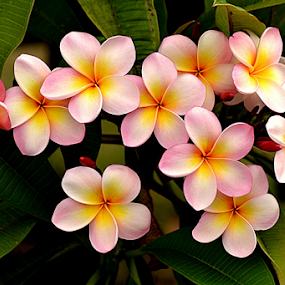 Pink Frangipani 65 by Mark Zouroudis - Flowers Flowers in the Wild (  )
