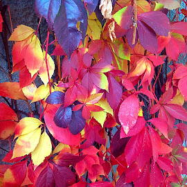 Colorful leaves by Žaklina Šupica - Nature Up Close Leaves & Grasses ( fall, color, colorful, nature )
