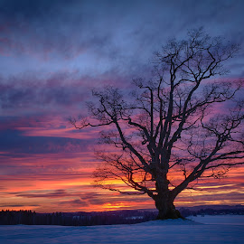 Sunset in Ås by John Einar Sandvand - Nature Up Close Trees & Bushes ( follo, winter, tree, ås, sunset )