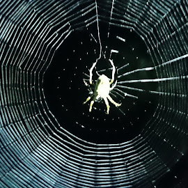 Orby Spidy by Rhiannon Windred - Nature Up Close Webs ( orb, night, web, spider, close )