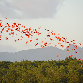 Flock of Scarlet Ibis by Leslie-Ann Boisselle - Novices Only Wildlife ( bird, red, ibis, caroni, trinidad, swamp )
