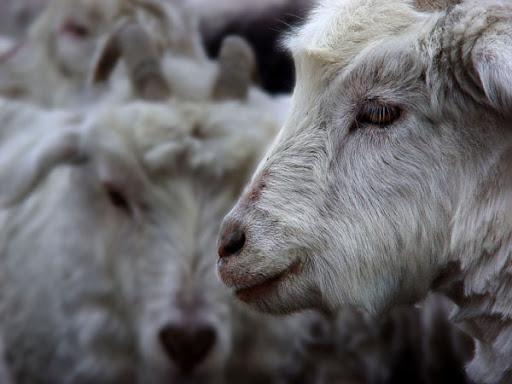 Goat. Foto: Horacio Iannella